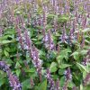 Anijsplant / Agastache hybride 'After Eight' - potmaat: 9cm