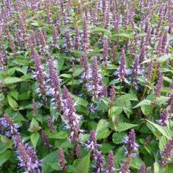 Anijsplant / Agastache hybride 'After Eight'