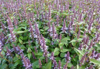 Anijsplant / Agastache hybride 'After Eight'