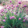 Bieslook / Allium schoenoprasum - potmaat: 10,5cm