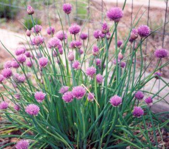 Bieslook / Allium schoenoprasum