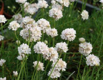 "Engels gras / Armeria maritima ""Alba'"