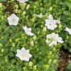 Karpatenklokje / Campanula carpatica 'White Clips' - potmaat: 9cm
