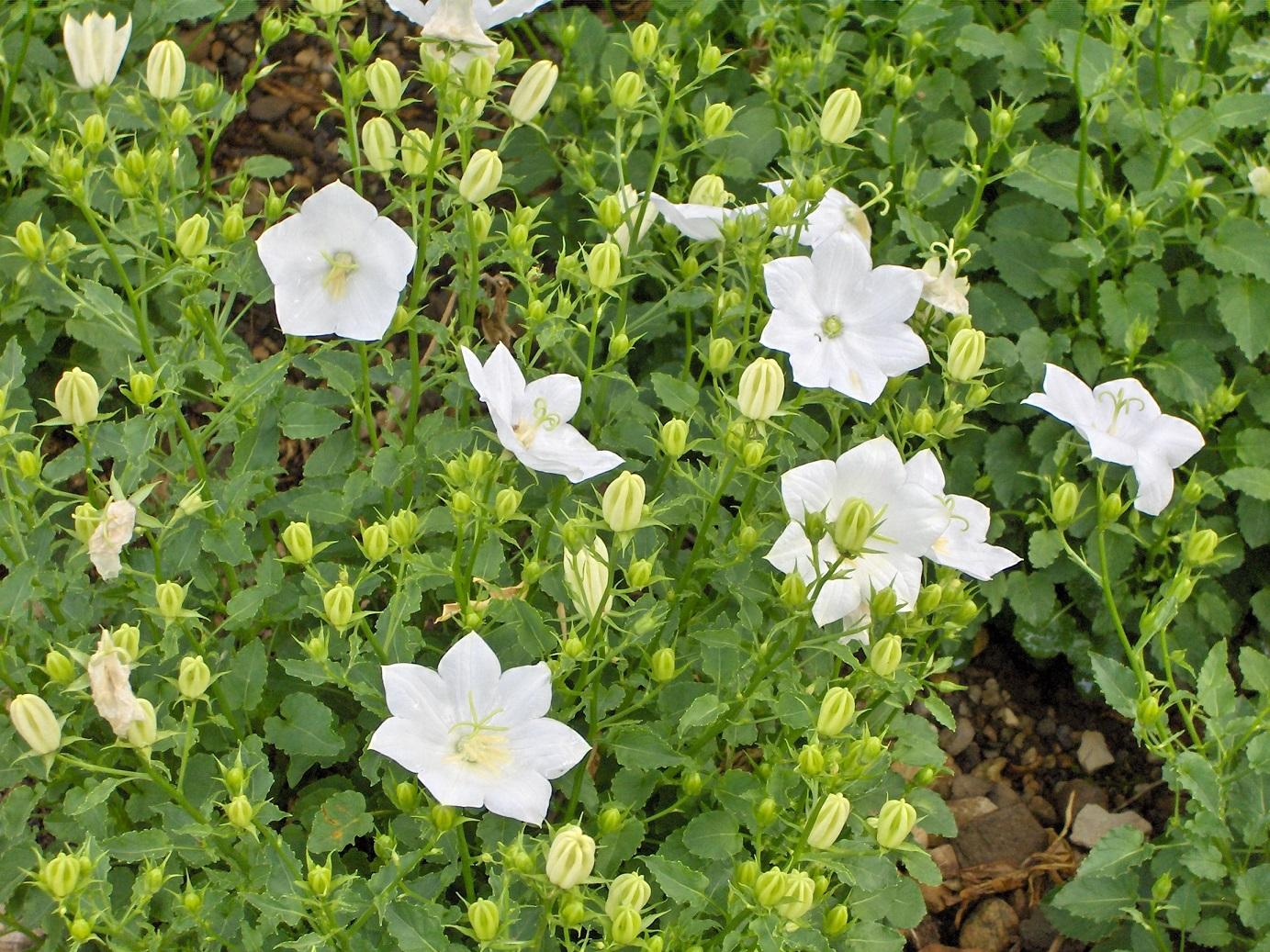 Karpatenklokje / Campanula carpatica 'White Clips'