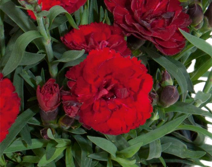 Dianthus Carmen in potje 9cm