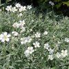 Viltige hoornbloem / Cerastium - potmaat: 9cm