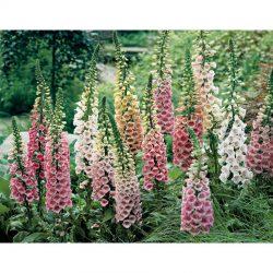 Vingerhoedskruid / Digitalis purpurea 'Gloxiniiflora'