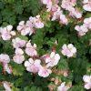 Ooievaarsbek / Geranium cantabrigiense 'Biokovo' - potmaat: 9cm