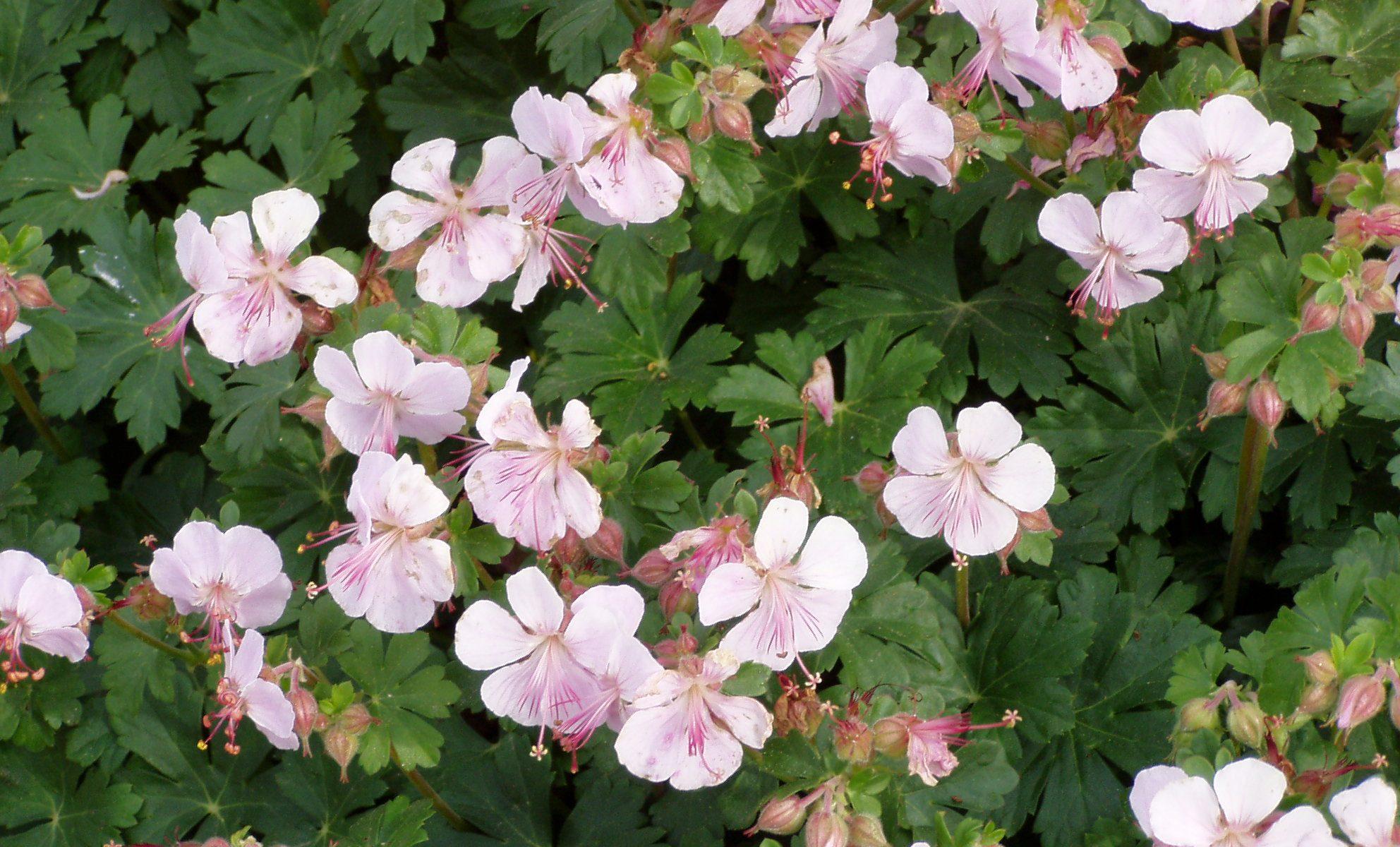 Ooievaarsbek / Geranium cantabrigiense 'Biokovo'