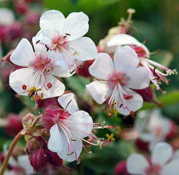 Ooievaarsbek / Geranium macrorrhizum