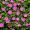 Bloedooievaarsbek / Geranium sanguineum 'max frei' - potmaat: 9cm
