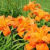 Daglelies / Hemerocallis 'Kwanso' - potmaat: 3L