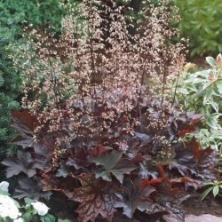 Purperklokje / Heuchera micrantha 'Palace Purple'