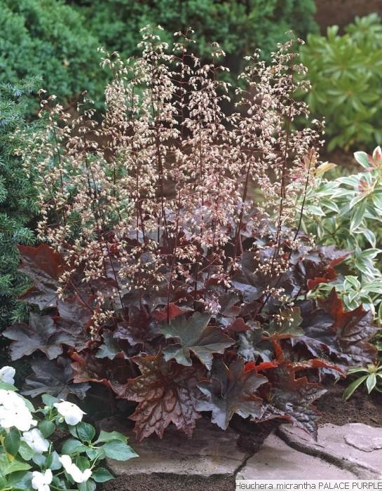 Purperklokje / Heuchera micrantha 'Palace Purple'