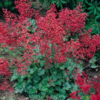 Purperklokje / Heuchera (rood)