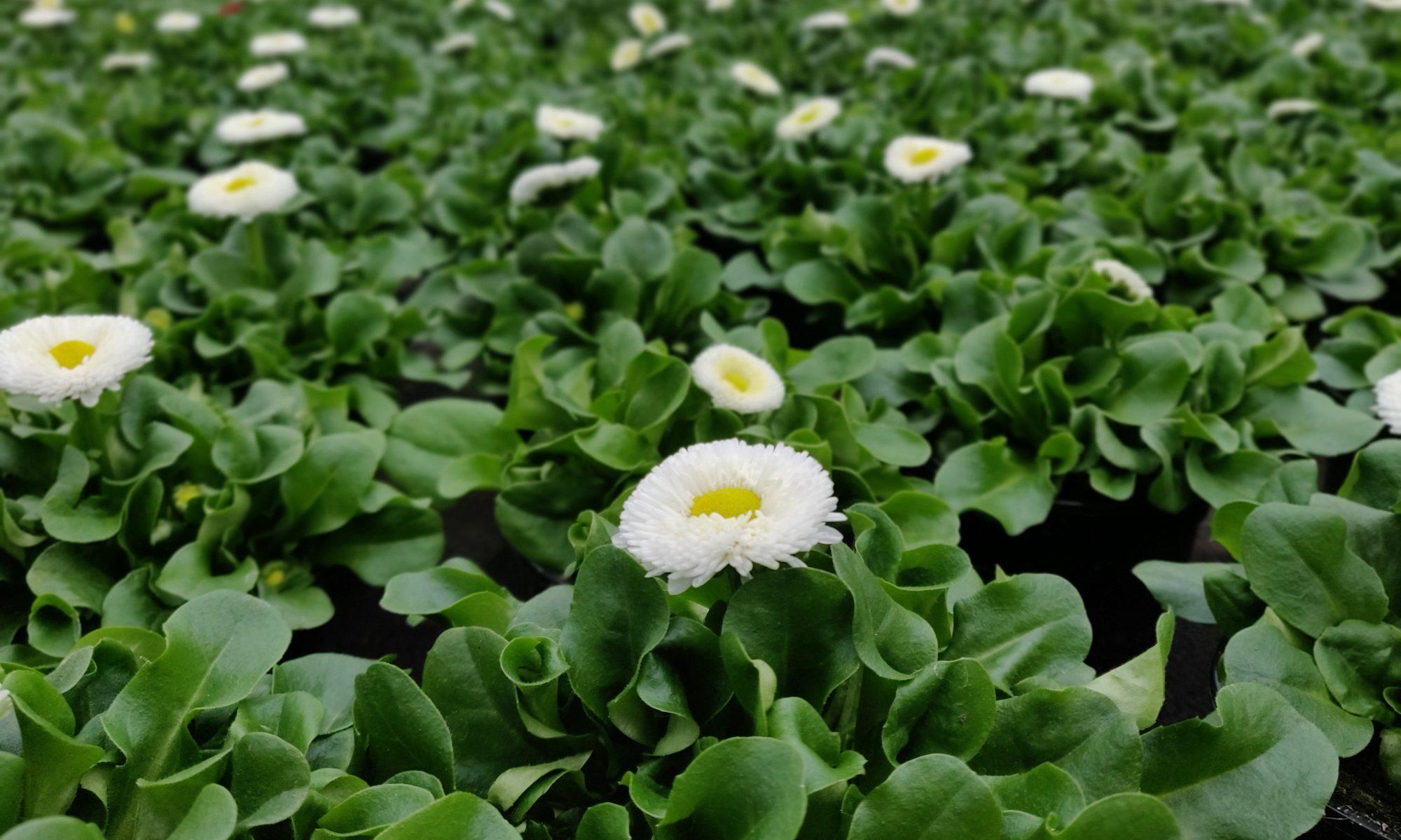 Bellis open bloem wit