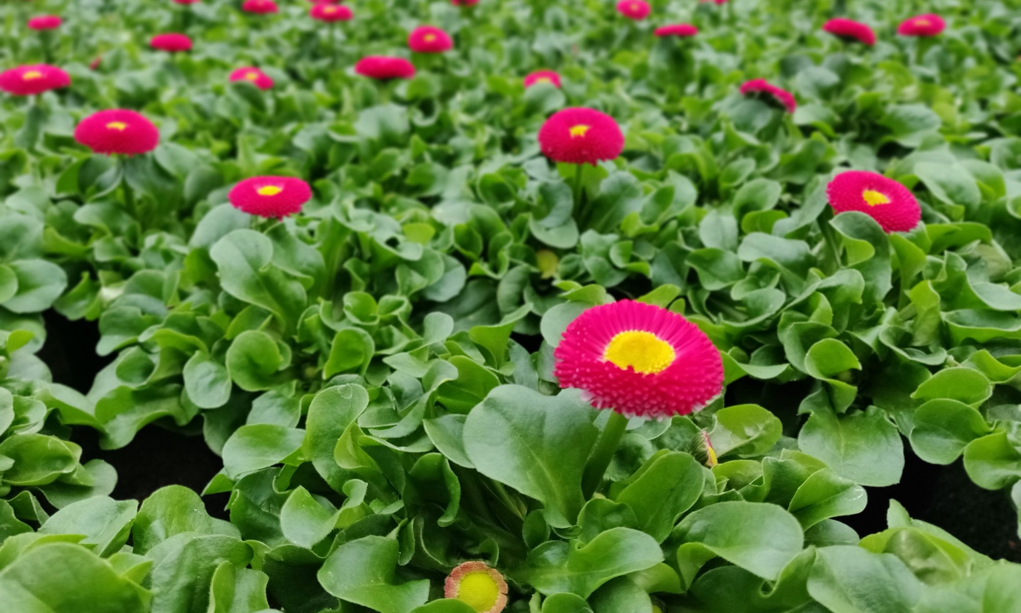 BELLIS roze