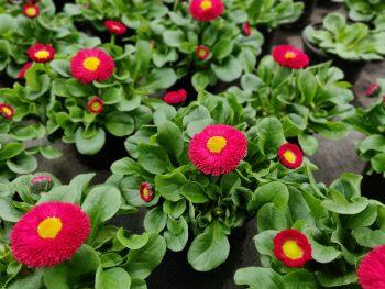 Bellis open bloem rood