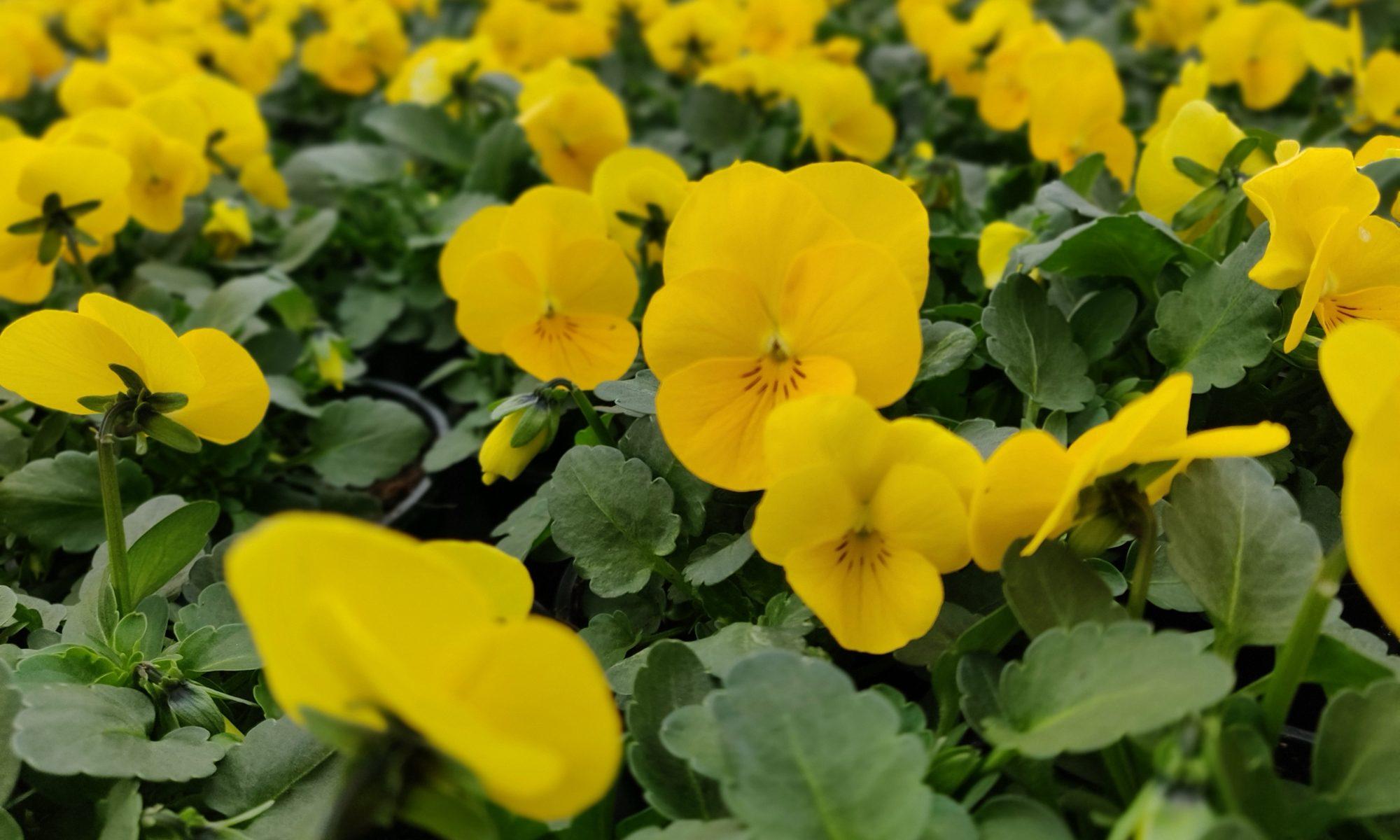 Bosviooltjes geel