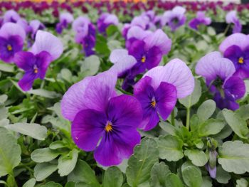 Bosviooltjes donker en helder paars