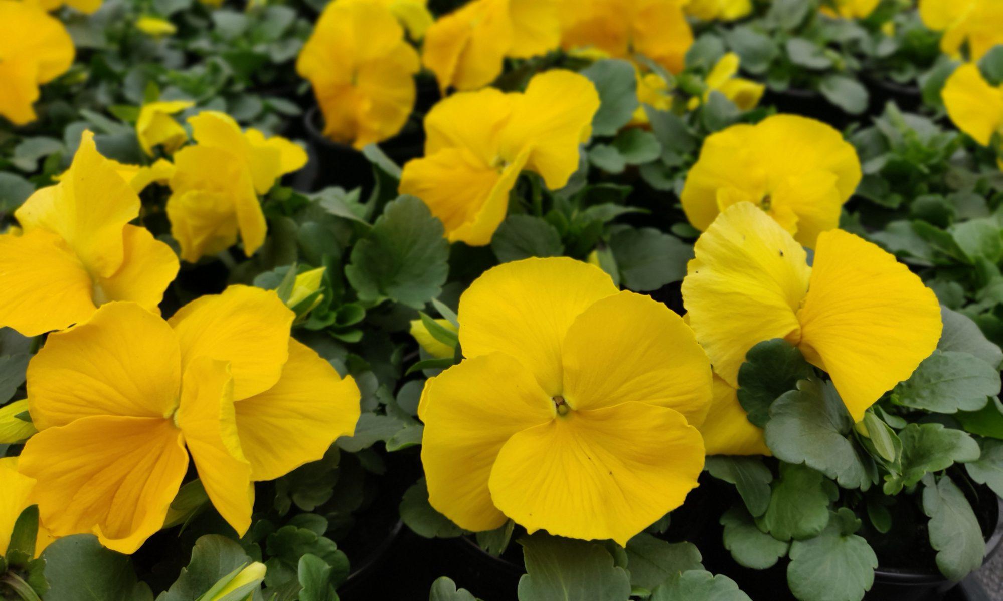 Viool grootbloemig geel
