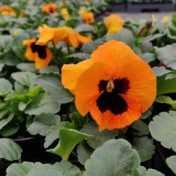 Viool grootbloemig orange