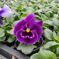 Viool grootbloemig paars