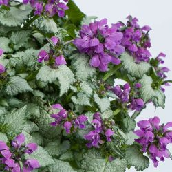 Lipbloem / Lamium lami 'Dark Purple'
