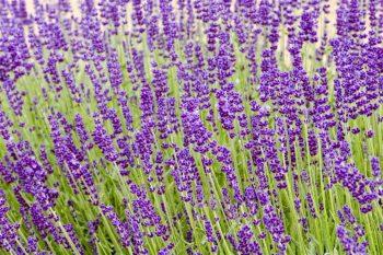 Lavendel / Lavendel angustifolia 'Hidcote' traaggroeiend