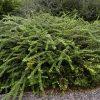Chinese kamperfolie / Lonicera nitida variegata - potmaat: 9cm