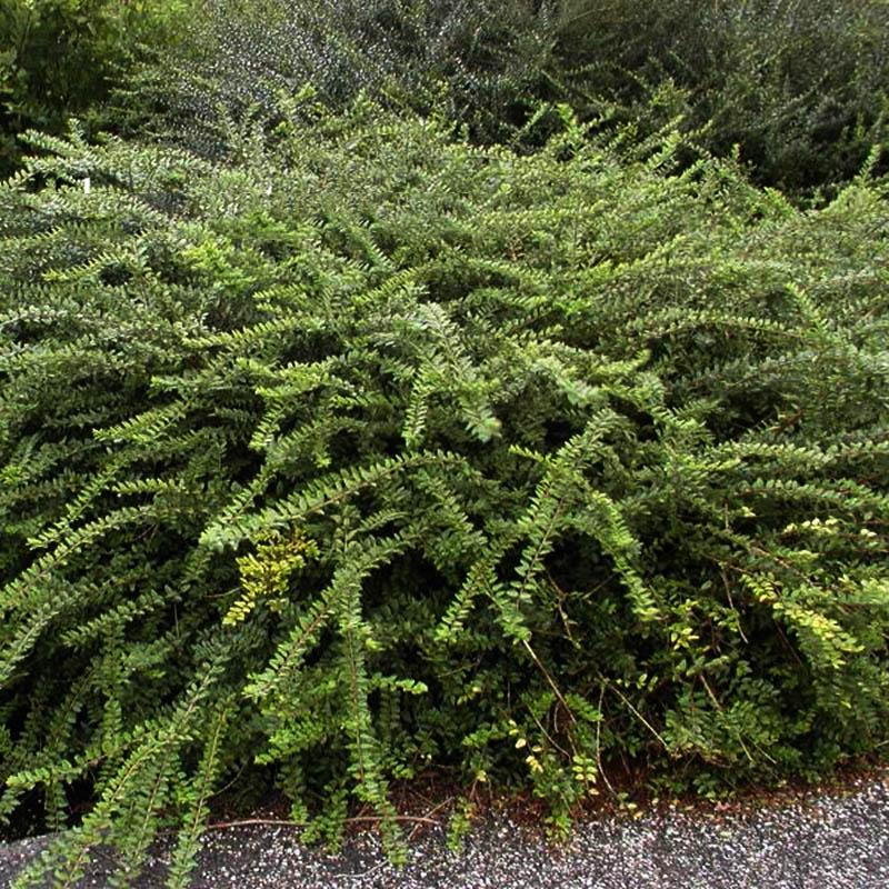 Chinese kamperfolie / Lonicera nitida variegata