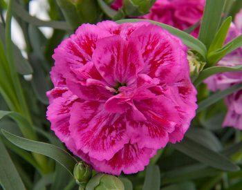 Dianthus Marie in potje 9cm