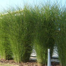 Prachtriet/Reuzeriet / Miscanthus sinensis 'Gracillimus'