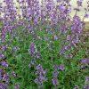 Kattekruid / Nepeta faassenii (Bijenlokker) - potmaat: 9cm