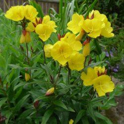 Teunisbloem / Oenothera fruticosa 'Fyrverkeri'