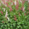 Duizendknoop / Persicaria affinis 'Superba