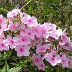 Phlox paniculata Rose