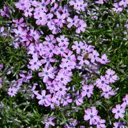 Kruipphlox / Phlox (S) 'Purple Beauty'