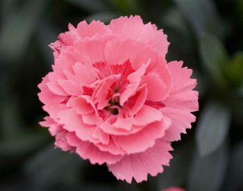 Dianthus Pink in potje 9cm