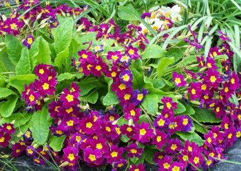Sleutelbloem / Primula juliae 'Wanda'