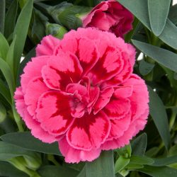 Dianthus Purple Wings in potje 9cm