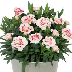 Dianthus Red Star in potje 9cm