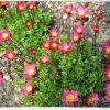 Steenbreek / Saxifraga arendsii 'rood' - potmaat: 9cm