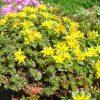 Muurpeper / Sedum floriferum 'Weihenstephaner Gold' - potmaat: 9cm