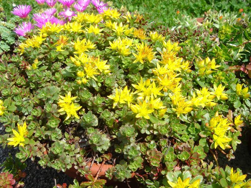 Muurpeper / Sedum floriferum 'Weihenstephaner Gold'