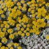 Vetkruid / Sedum spathulifolium 'Cape Blanco' - potmaat: 9cm