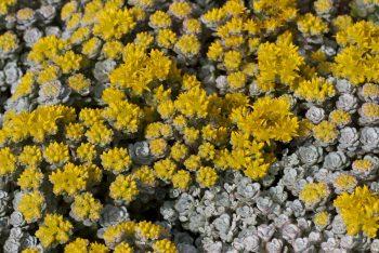 Vetkruid / Sedum spathulifolium 'Cape Blanco'
