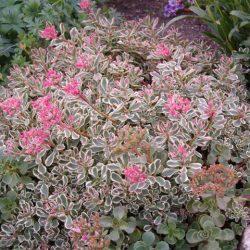 Roze vetkruid / Sedum spurium 'Variegatum'