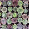 Huislook/daklook/rotsplant / Sempervivum - potmaat: 5.5cm