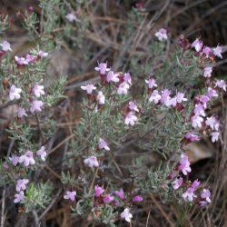 Citroentijm / Thymus citriodorus 'Variegata'